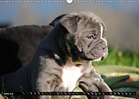 Bulldogs - Old English Bulldog Puppies (Wall Calendar 2019 DIN A3 Landscape) - Produktdetailbild 6