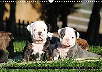 Bulldogs - Old English Bulldog Puppies (Wall Calendar 2019 DIN A3 Landscape) - Produktdetailbild 7