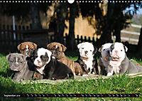 Bulldogs - Old English Bulldog Puppies (Wall Calendar 2019 DIN A3 Landscape) - Produktdetailbild 9