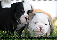 Bulldogs - Old English Bulldog Puppies (Wall Calendar 2019 DIN A3 Landscape) - Produktdetailbild 8