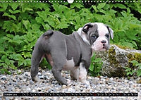 Bulldogs - Old English Bulldog Puppies (Wall Calendar 2019 DIN A3 Landscape) - Produktdetailbild 10