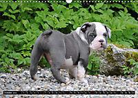 Bulldogs - Old English Bulldog Puppies (Wall Calendar 2019 DIN A3 Landscape) - Produktdetailbild 10