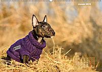 Bullterrier 2019 Frech und fröhlich durch das Jahr (Wandkalender 2019 DIN A2 quer) - Produktdetailbild 1
