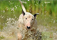 Bullterrier 2019 Frech und fröhlich durch das Jahr (Wandkalender 2019 DIN A2 quer) - Produktdetailbild 6