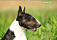 Bullterrier 2019 Frech und fröhlich durch das Jahr (Wandkalender 2019 DIN A2 quer) - Produktdetailbild 11