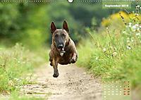 Bullterrier 2019 Frech und fröhlich durch das Jahr (Wandkalender 2019 DIN A2 quer) - Produktdetailbild 9