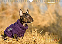 Bullterrier 2019 Frech und fröhlich durch das Jahr (Wandkalender 2019 DIN A4 quer) - Produktdetailbild 1