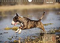 Bullterrier 2019 Frech und fröhlich durch das Jahr (Wandkalender 2019 DIN A4 quer) - Produktdetailbild 3