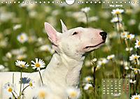 Bullterrier 2019 Frech und fröhlich durch das Jahr (Wandkalender 2019 DIN A4 quer) - Produktdetailbild 5