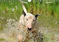 Bullterrier 2019 Frech und fröhlich durch das Jahr (Wandkalender 2019 DIN A4 quer) - Produktdetailbild 6