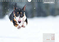 Bullterrier 2019 Frech und fröhlich durch das Jahr (Wandkalender 2019 DIN A4 quer) - Produktdetailbild 12