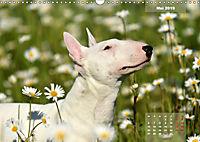 Bullterrier 2019 Frech und fröhlich durch das Jahr (Wandkalender 2019 DIN A3 quer) - Produktdetailbild 5