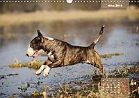 Bullterrier 2019 Frech und fröhlich durch das Jahr (Wandkalender 2019 DIN A3 quer) - Produktdetailbild 3