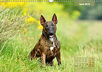 Bullterrier 2019 Frech und fröhlich durch das Jahr (Wandkalender 2019 DIN A3 quer) - Produktdetailbild 4