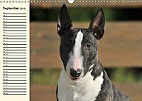 Bullterrier (Wandkalender 2019 DIN A3 quer) - Produktdetailbild 9