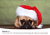 Bullys - Französische Bulldoggen 2019 (Wandkalender 2019 DIN A2 quer) - Produktdetailbild 12
