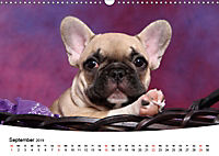 Bullys - Französische Bulldoggen 2019 (Wandkalender 2019 DIN A3 quer) - Produktdetailbild 9