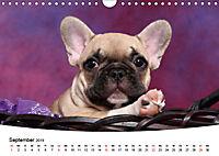 Bullys - Französische Bulldoggen 2019 (Wandkalender 2019 DIN A4 quer) - Produktdetailbild 9
