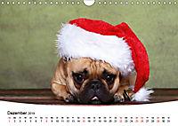 Bullys - Französische Bulldoggen 2019 (Wandkalender 2019 DIN A4 quer) - Produktdetailbild 12