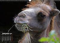 Camels / UK-Version (Wall Calendar 2019 DIN A3 Landscape) - Produktdetailbild 9
