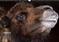 Camels / UK-Version (Wall Calendar 2019 DIN A3 Landscape) - Produktdetailbild 1