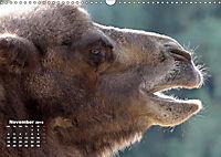 Camels / UK-Version (Wall Calendar 2019 DIN A3 Landscape) - Produktdetailbild 11