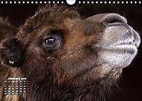 Camels / UK-Version (Wall Calendar 2019 DIN A4 Landscape) - Produktdetailbild 1