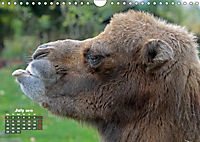 Camels / UK-Version (Wall Calendar 2019 DIN A4 Landscape) - Produktdetailbild 7