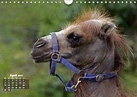 Camels / UK-Version (Wall Calendar 2019 DIN A4 Landscape) - Produktdetailbild 4