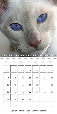 Cats - Siamese kitten with family (Wall Calendar 2019 300 × 300 mm Square) - Produktdetailbild 1