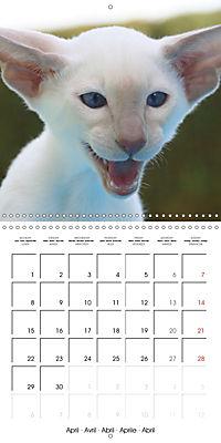 Cats - Siamese kitten with family (Wall Calendar 2019 300 × 300 mm Square) - Produktdetailbild 4