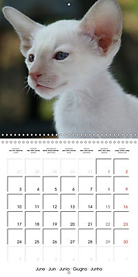Cats - Siamese kitten with family (Wall Calendar 2019 300 × 300 mm Square) - Produktdetailbild 6