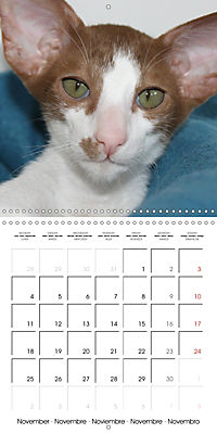Cats - Siamese kitten with family (Wall Calendar 2019 300 × 300 mm Square) - Produktdetailbild 11