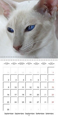 Cats - Siamese kitten with family (Wall Calendar 2019 300 × 300 mm Square) - Produktdetailbild 9