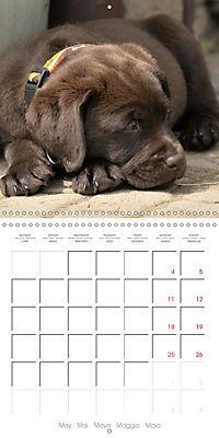 Chocolate Labs (Wall Calendar 2019 300 × 300 mm Square) - Produktdetailbild 5