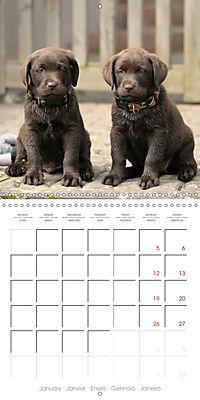 Chocolate Labs (Wall Calendar 2019 300 × 300 mm Square) - Produktdetailbild 1