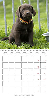 Chocolate Labs (Wall Calendar 2019 300 × 300 mm Square) - Produktdetailbild 4