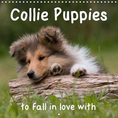 Collie Puppies to fall in love with (Wall Calendar 2019 300 × 300 mm Square), Thomas Quentin