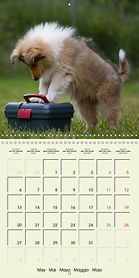 Collie Puppies to fall in love with (Wall Calendar 2019 300 × 300 mm Square) - Produktdetailbild 5
