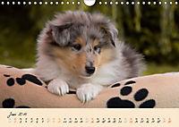 Collie Welpen zum Verlieben (Wandkalender 2019 DIN A4 quer) - Produktdetailbild 6