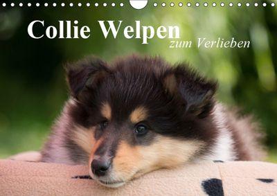 Collie Welpen zum Verlieben (Wandkalender 2019 DIN A4 quer), Thomas Quentin