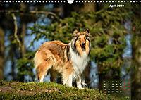 Collies? Was sonst! (Wandkalender 2019 DIN A3 quer) - Produktdetailbild 4