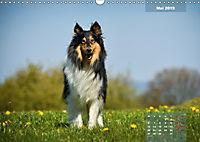 Collies? Was sonst! (Wandkalender 2019 DIN A3 quer) - Produktdetailbild 5