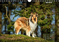 Collies? Was sonst! (Wandkalender 2019 DIN A4 quer) - Produktdetailbild 4