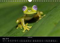 Costa Rica - Faszination Frösche (Wandkalender 2019 DIN A4 quer) - Produktdetailbild 3