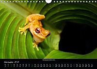Costa Rica - Faszination Frösche (Wandkalender 2019 DIN A4 quer) - Produktdetailbild 11