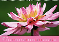 Dahlien (Wandkalender 2019 DIN A2 quer) - Produktdetailbild 4
