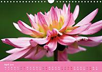 Dahlien (Wandkalender 2019 DIN A4 quer) - Produktdetailbild 4