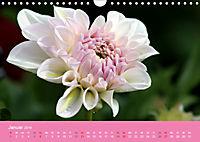 Dahlien (Wandkalender 2019 DIN A4 quer) - Produktdetailbild 1