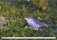 Das blaue Wunder - Moorfrösche in ihrem Habitat (Wandkalender 2019 DIN A2 quer) - Produktdetailbild 9